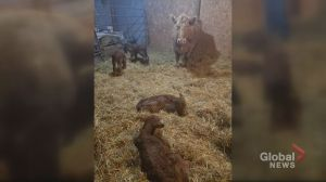 Cow gives birth to quadruplets on farm near Leross, Sask.