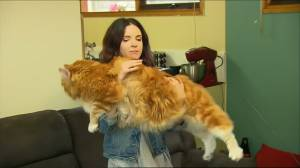 Maine Coon cat in Australia may be world's longest