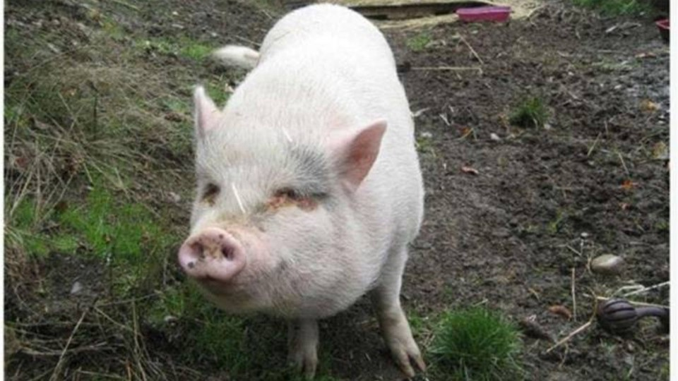 SPCA staffers horrified after adopted pig is eaten by new owners