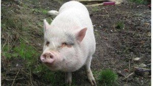 Molly the pet pig adopted from the BC SPCA killed and eaten by new owners