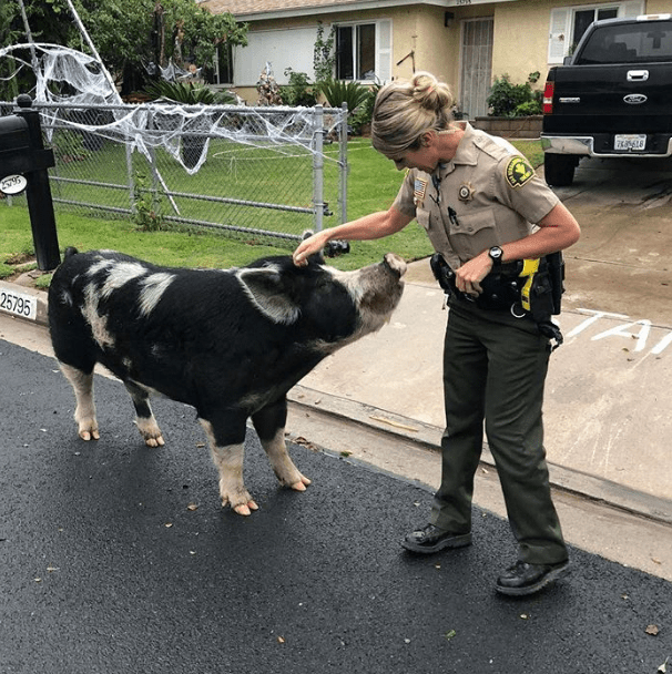 Cops capture pig 'the size of a mini horse' using Doritos