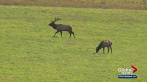 Elk Island National Park considers allowing hunting to address elk, moose populations