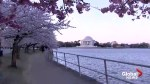Cherry blossoms are in full bloom in Washington, DC