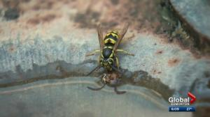 Edmontonians seeing lots of wasps this summer