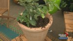 Gardenworks: Caring for citrus