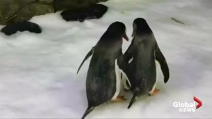 Same-sex penguin couple incubate egg at Sydney aquarium