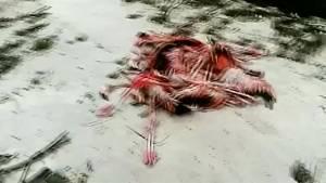 Hundreds of flamingos killed, injured by Hurricane Irma