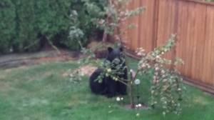 Black bear munches on apples in B.C. backyard