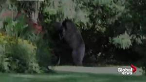 Young black bears caught on camera wrestling in B.C. backyard