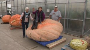 Smoky summer may have spoiled world record for Calgary-area pumpkin grower