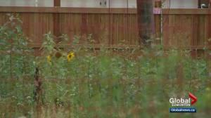 Weeds have some Edmontonians asking for more bylaw enforcement