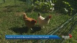 Toronto City Council approves pilot project allowing backyard chickens in specific wards