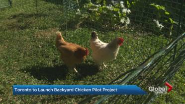 Backyard chickens now allowed in parts of Toronto as part of 3-year