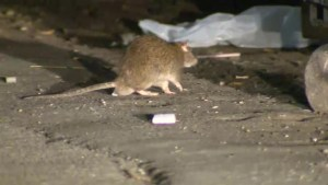 Trent University professor says growing rat population linked to their protein-rich diets