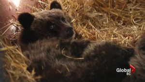 Concerns grow over orphaned bear cubs