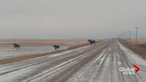 Moose spotted crossing Saskatchewan highway during winter storm