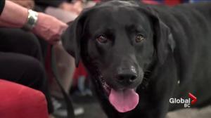 Adopt a Pet: Zeus the Labrador Cross
