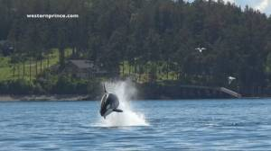 Hunting killer whales leap out of water near Washington State