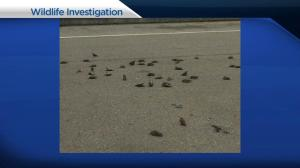 Dozens of bird fall out of the sky in Tsawwassen