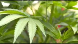 Peterborough prepares for marijuana legalization