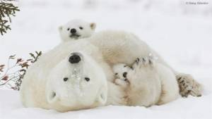 Manitoba polar bear pictures in Smithsonian, after photographer wins award