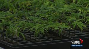 Are Edmonton rules ready for pot legalization?