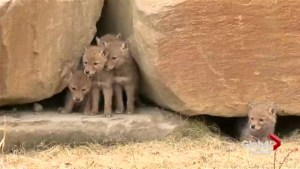 Family of coyotes discovered denning in rock wall in northwest Calgary community