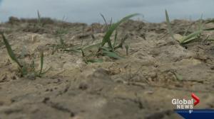 Dry fields in Alberta have farmers on edge