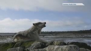 Wolves kill dog on popular Tofino beach