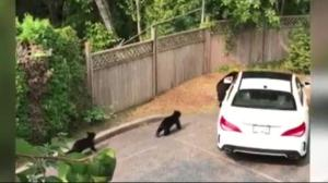 Late garbage pick-up could be leading to bears in West Vancouver