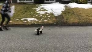 Mission woman risks life and nose to save skunk