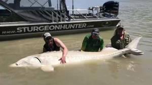 Calgary fishermen catch massive sturgeon in B.C.