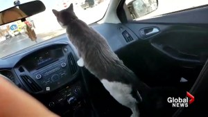 Hitchhiking cat known as the 'boss' of Nova Scotia store