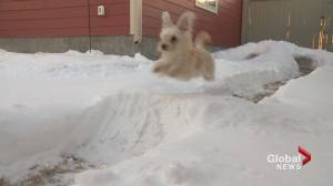 Calgary couple creates backyard snow maze for their beloved rescue puppy