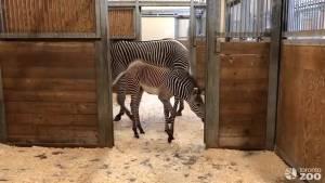 Toronto Zoo reveals official name for baby zebra