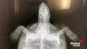 Turtle treated by West Kelowna veterinarian released back into wild