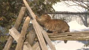Rescues in Kingston and Frontenac County struggle to control feral cat population