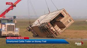 Cattle truck uprighted and removed from Stoney Trail in Calgary
