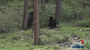Bear behaviour changing at Elk Island National Park: Parks Canada