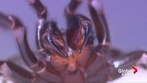 Australian zoo urges people to catch deadly funnel-web spiders to help make antidote