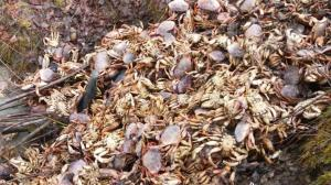 Second Dungeness crab 'dump' found in Northern B.C.