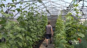 An east-end urban greenhouse aims to change the way Montrealers look at their food