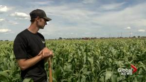 Farmers prepare for first Taber corn harvest of 2019