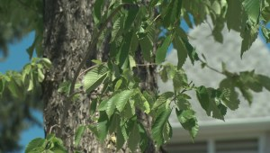 Some west Edmonton residents upset over LRT plan calling for mature trees to be removed