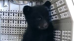 Orphaned bear cub rescued by whale watchers near Tofino