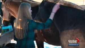 Alberta family devastated by brazen theft of 6 horses