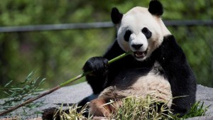 Toronto Zoo staff member remembers favourite giant panda moment