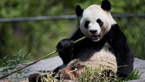 Toronto Zoo staff member remembers favourite giant panda moment