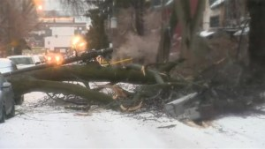 Huge tree downed in ice storm takes hydro transformer with it, knocking out power for residents on Fennings St. in Toronto