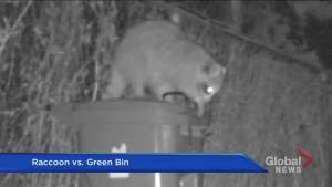War of the Raccoons: The battle of the bin